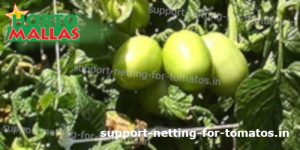 tomato crops with support net