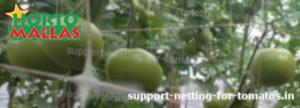 tomato plants using trellis net