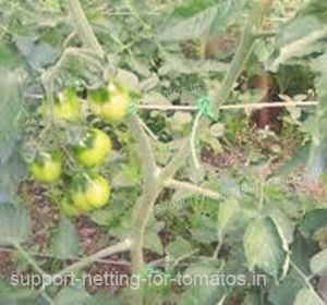 Do not let your tomatos being in contact with the ground, support them with plastic netting HORTOMALLAS