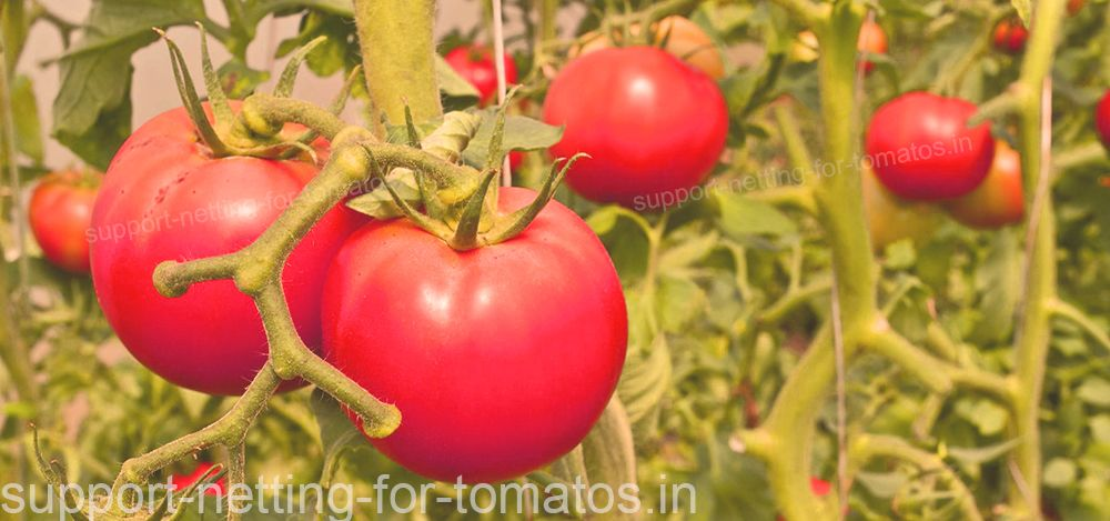 Tomatos with tutoring rings HORTOCLIPS