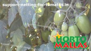 tomato plants tutoring by support net